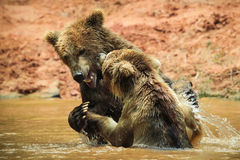 Brown bears watering Royalty Free Stock Photography