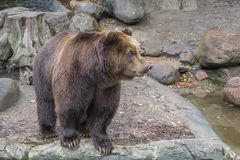 Large brown bear stands on stones near a water/ lake, close-up royalty free stock photos