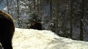 Brown bears in the winter forest. Two bears eat in the snow. 4K stock footage