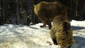 Brown bears in the winter forest. Two bears eat in the snow. Mom and her cub. 4K stock video