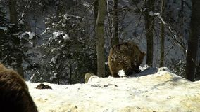 Brown bears in the winter forest. Two bears eat in the snow. 4K stock video footage