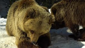 Brown bears in the winter forest. Two bears eat in the snow. Mom and her cub. 4K stock footage