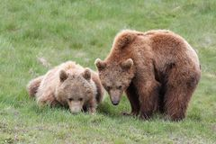 Brown bears Royalty Free Stock Photo
