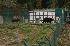 Brown bears in the zoo walking behind the fence stock photography