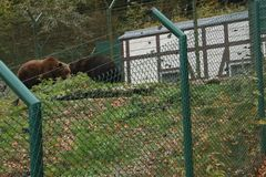 Brown bears in the zoo walking behind the fence stock images