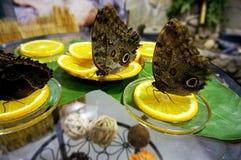 brown butterflies sit on a lemon stock photo