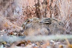Brown beautiful hare in a park Stock Image