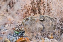 Brown beautiful hare in a park Royalty Free Stock Image