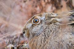Brown beautiful hare in a park Royalty Free Stock Photo