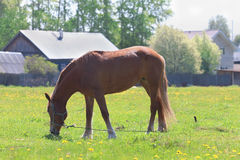 Brown beautiful horse eats fresh green grass in field Royalty Free Stock Photos