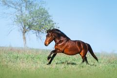Brown beautiful horse galloping on the green field on a light background royalty free stock photo
