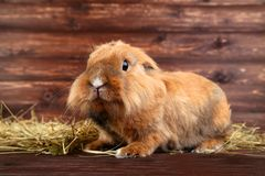 Beautiful rabbit with hay royalty free stock image