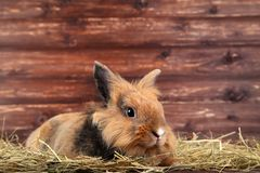 Beautiful rabbit with hay royalty free stock photo