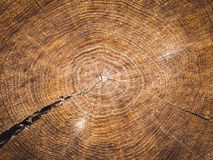 Brown beautiful tree in a cut Royalty Free Stock Photos