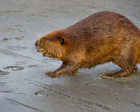Beaver Walking in Mud Stock Photography