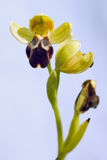Brown Bee Orchid - Ophrys fusca Royalty Free Stock Photography
