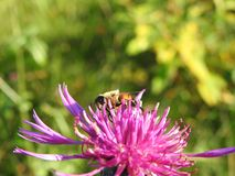 Bee on pink flower, Lithuania Stock Photos