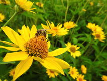 Brown bee on yellow flower Royalty Free Stock Photography