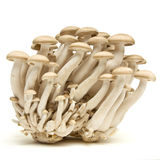 Brown beech fungi Stock Photography