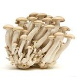 Brown beech fungi Stock Photography
