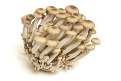 Brown beech fungi Royalty Free Stock Photography