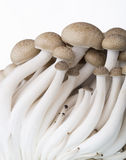 Brown beech mushroom Royalty Free Stock Images