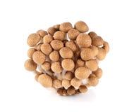 Brown beech mushroom Stock Photography