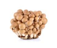 Brown beech mushroom Stock Images