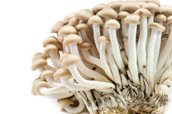 Brown beech mushroom. On white background Royalty Free Stock Photos