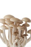 Brown beech mushrooms Stock Photography