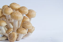 Brown beech mushrooms (Hypsizygus marmoreus) on White Background Royalty Free Stock Image