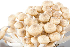 Brown beech mushrooms Royalty Free Stock Photo