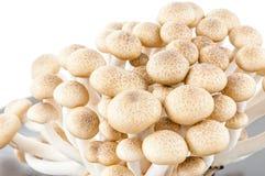 Brown beech mushrooms. Shimeji mushroom, Edible mushroom Royalty Free Stock Photo