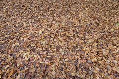 Brown beech tree leaves background on the forest floor. The leaves are falling displaying the beautiful colors in the dutch autumn royalty free stock photography