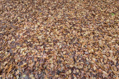 Brown beech tree leaves on the forest floor background. The leaves are falling displaying the beautiful colors in the dutch autumn stock photo