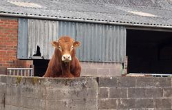 Brown Beef Bull Looking over Wall Royalty Free Stock Photo