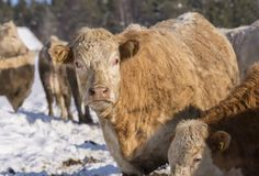Brown beef cattle looking at camera. Picture from the Northern Sweden Royalty Free Stock Photo