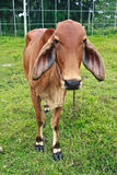 Brown Beef cattle Stock Photos