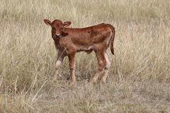 Brown  Beef newborn calf Stock Images