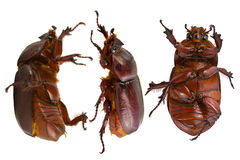Brown beetle Royalty Free Stock Photography