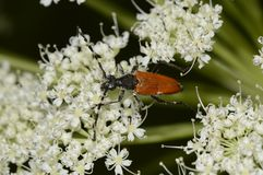 The brown beetle is fed pollen. Close-up royalty free stock images