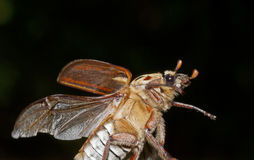 Brown beetle flying. Close up royalty free stock image