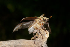 Brown beetle flying. Take off royalty free stock photos