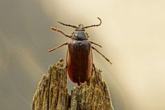 Brown beetle on a gray dry piece of wood Royalty Free Stock Photos