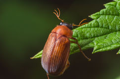 Brown beetle on a green leaf Stock Images