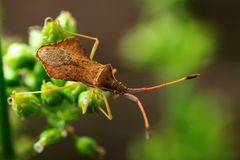 Brown beetle on a green stem. Blurred natural background, close-up Royalty Free Stock Photography