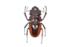 Brown beetle Odontolabis cuvera isolated Royalty Free Stock Photos