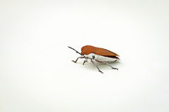 Brown Beetle Stock Photography