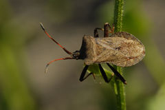 Brown beetle sitting on the green stalk Stock Images