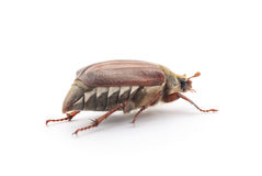 Brown beetle. Stock Image
